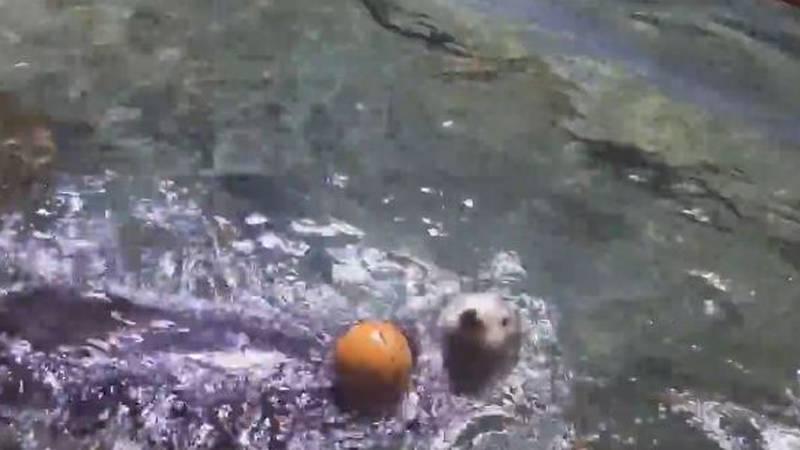 Clara the sea otter makes a slam dunk at the Audubon Aquarium in New Orleans