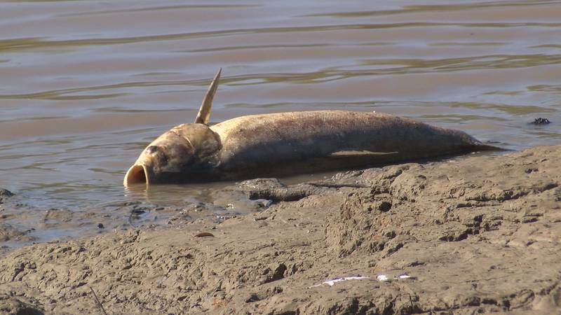 Thousands of fish suddenly die from low oxygen levels in the Yazoo River.