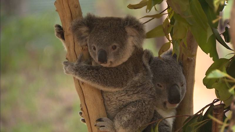 """There are only about 40,000-100,000 koalas remaining after """"uncontrolled habitat destruction,""""..."""
