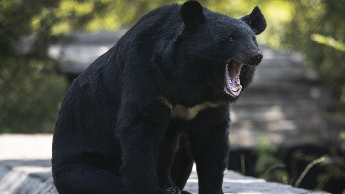 A black bear yawns at its enclosure at the Dachigam National Park on the outskirts of Srinagar,...