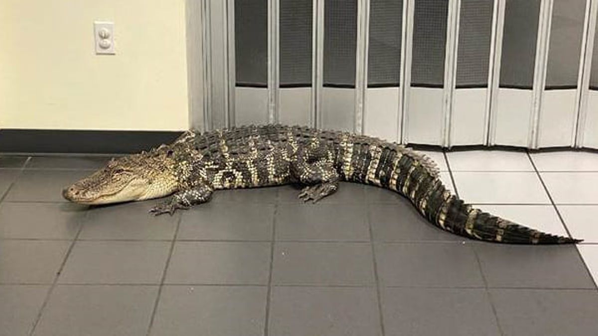 7-foot alligator spotted in lobby of post office