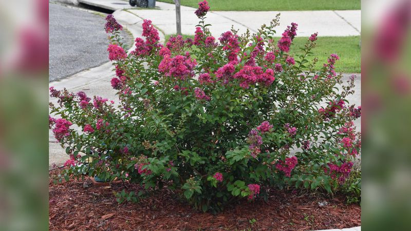 Crape myrtles are a common sight to Mississippians.