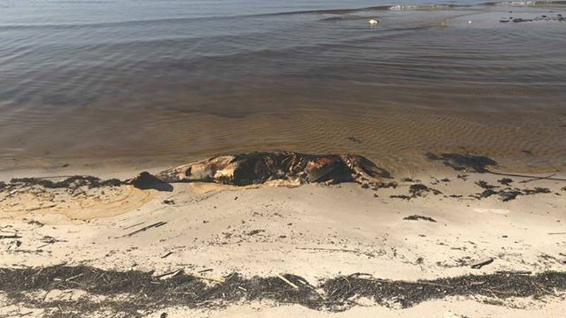 Biloxi resident spots dead dolphins at the beach. (Photo source: Chasity Burnett)