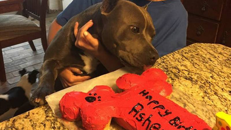 In this photo, 2-year-old pit bull Asher celebrates his birthday with his owner, Anna Cupit,...