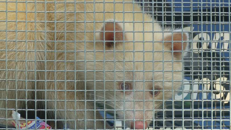 The rare albino raccoon was captured in Collierville.